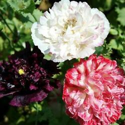 Poppy Peony Flower Mix ANTIQUE SHADES Fall Planting Pure Seed Non GMO 200 Seeds $3.49