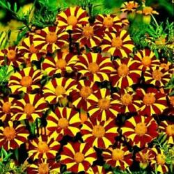 French Marigold COURT JESTER Tall Beneficial Plant for Gardens Non GMO 100 Seeds $2.99