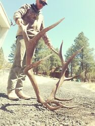 GIANT Real Brown Elk Antlers NONTYPICAL Sheds Set Pair TAXIDERMY Log Cabin Decor