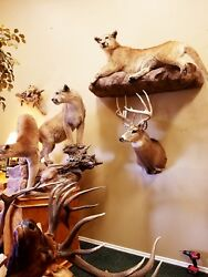 Eastern Whitetail Deer Mount Antlers Taxidermy Mounts Sheds Log Cabin Decor NEW