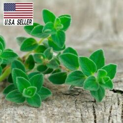 1000 Seeds GREEK TRUE OREGANO Medicinal Perennial Herb Origanum Hirtum Heirloom