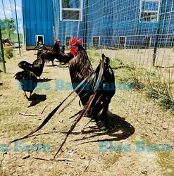 6+ Black Long tail Chicken Fertile Hatching Eggs. Large Fowl Longtail Rare Breed