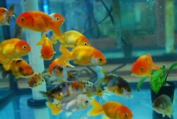 3x 2quot; Red and White Ranchu Fancy Goldfish Moss Java 2 Day Fedex Shipping $39.99
