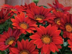 50 Gazania Seeds New Day Red Shades Flower Seeds $4.75