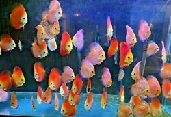 You PICK Large Discus Fish for SALE Size range approximately from 5quot; 6quot; $125.00