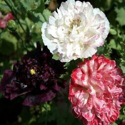 500 Poppy Seeds Peony Antique Shades FLOWER SEEDS Papaver Seeds $4.00