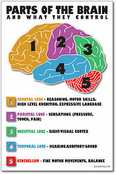 Parts of the Brain NEW Science Biology Classroom Anatomy Cerebellum POSTER $9.99