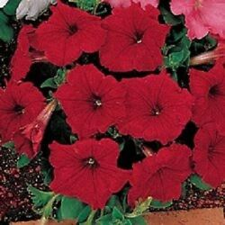 50 Pelleted Petunia Seeds Celebrity Red FLOWER SEEDS