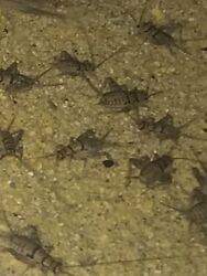 Live Crickets 250 Medium from Central Valley Cricket
