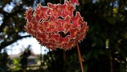 Variegated Hoya Pubicalyx pink silver 14quot; LONG CUTTING Wax plant tropical Plant $10.00