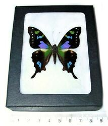 Graphium weiskei REAL FRAMED BUTTERFLY PINK PURPLE BLUE INDONESIA $36.00