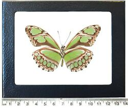Philaethria dido verso REAL FRAMED BUTTERFLY GREEN PERU $34.00