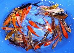 11 Lot Assorted 2quot; 4quot; Standard Fin Live Koi Fish A Quality for Pond Garden PKF $74.99