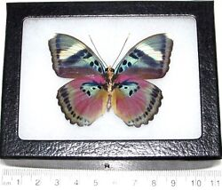 Euphaedra verso REAL FRAMED BUTTERFLY PINK AFRICA $40.00