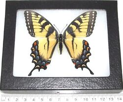 Papilio glaucus female REAL FRAMED BUTTERFLY BLUE YELLOW BLACK TIGER SWALLOWTAIL $32.00