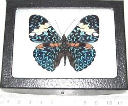 Hamadryas amphinome REAL FRAMED BUTTERFLY BLUE WHITE PERU $32.00