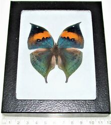 Kallima inachis REAL FRAMED BUTTERFLY LEAF MIMIC BLUE GREEN CHINA $30.00