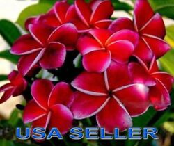 3 'DREAM ANGEL' Fragrant & Exotic ROOTED Plumeria Well-Rooted Plants USA Seller
