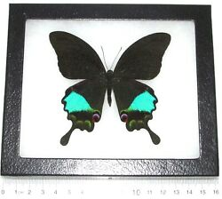 Papilio paris REAL FRAMED BUTTERFLY BLUE PEACOCK SWALLOWTAIL INDONESIA $32.00