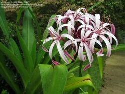 Giant Spider Lily Hymenocallis 7 Bulbs Fresh from Hawaii $9.99