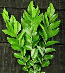 100% Organic Natural Home cultivate Sun Dried Curry Leaves From Sri lanka $5.85
