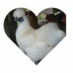8 PURE WHITE SILKIE FERTILE HATCHING CHICKEN EGGS **FREE UPS Ground Shipping $31.99