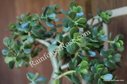 Large Big Jade 12 inch long cutting ready to plant cactus succulents $45.00