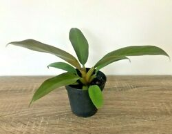 Philodendron #x27;Imperial Red#x27; Live Plant 4quot; Pot $11.99