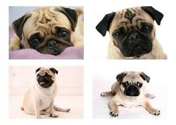 4 Pug Dog Dogs 5 x 7 GLOSSY Photo Picture LOT $9.49