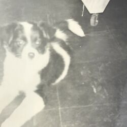 Border Collie Puppy Dog Laying On Floor Vintage Black and White Photo Snapshot $9.99