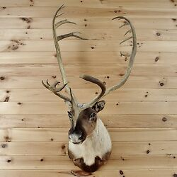 Barren Ground Caribou Taxidermy Mount - SW2487 - Lodge Decor for Sale