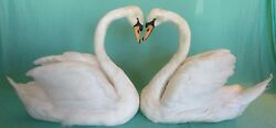 Mute Swan Pair with Heart-Shape Taxidermy For Wedding Home Decor Photo Shoot