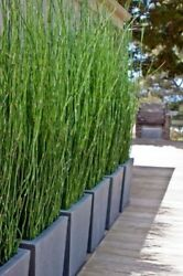 10 Horsetail Reed Grass Looks Like Mini Bamboo (Equisetum hyemale) Pond Plant