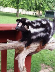 TAXIDERMY  SPOTTED SKUNKCIVET NO  ODOR! !foxsquirrelmancaveshe shedcoyote