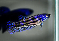 Blue Female Live Betta Fish Hybrid Alien Electronic Grade AAA # 138