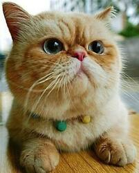 EXOTIC CAT GLOSSY POSTER PICTURE PHOTO kitten kitty pretty meow pet sweet 1047