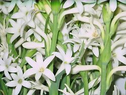 Tuberose Bulbs single Mexican 5 bare root plants FRAGRANT - Polianthus  $12.95