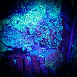 Wwc baby neptune bounce mushroom Aquaculture . Lps. Zoanthids coral $100.00