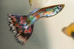 Fancy guppies multi delta and blue moscow mix 40 fry $39.99