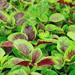 300Red Amaranth Red stripe leaf Chinese Spinach seeds Yin Cho Callaloo USA $2.19