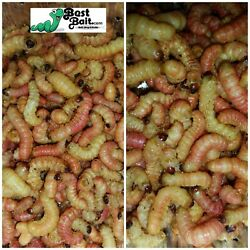 Butterworms Butter Worms Live Bait Pet Feeders Free Shipping $20.99