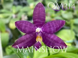Novelty Phal Phalaenopsis Mainshow Blue Tint MAINSHOW ORCHIDS FIRST RELEASE $50.00
