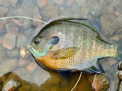 3quot; 6quot; Bluegill LIVE Fish for Pond or aquaponic GUARANTEE ALIVE FEED TRAINED $38.90