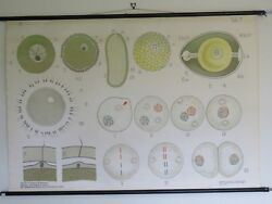 VINTAGE PULL ROLL DOWN SCHOOL CHART OF CELL DIVISION MITOSIS FERTILIZATION 1950s GBP 95.00