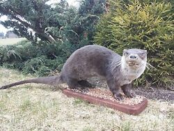 River Otter Life-Size