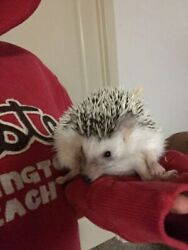 Rose the hedgehog *new* exotic pets!