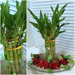 8quot; Lucky Bamboo 6 Healthy Plants Gift Feng Shui Water or Soil Free Shipping $14.50