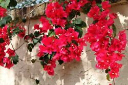 Bougainvillea #x27;San Diego Red#x27; Live Plant $9.99