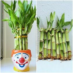 8 LIVE LUCKY BAMBOO PLANT STALKS 4quot; and 6quot; Indoor Water Plants Feng Shui GIFT $10.25