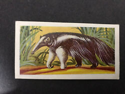 Candy Novelty Animals of the World Card #25 Ant Eater Scarce Series Of Cards GBP 3.99